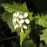 Gemeines Lauchkraut Alliaria petiolata 04
