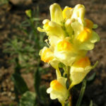 Gemeines Leinkraut Bluete gelb Linaria vulgaris 03