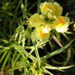 Gemeines Leinkraut Bluete gelb Linaria vulgaris 05