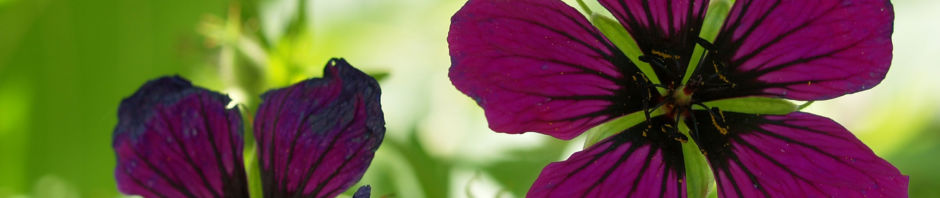 geranie-bluete-dunkel-lila-geranium