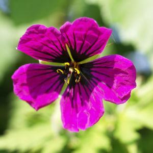 Geranie Bluete schwarz lila Geranium 04