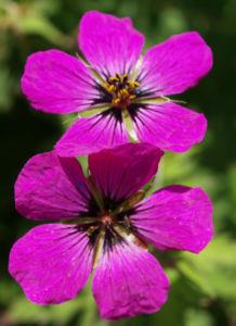 Geranie Bluete schwarz lila Geranium 05
