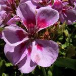 Geranie rosa rot Geranium 03