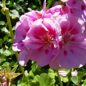 Geranie rosa rot Geranium 06
