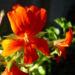 Zurück zum kompletten Bilderset Pelargonie rote Blüte Pelargonium odoratissimum