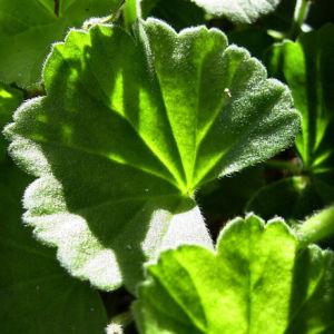 Geranie weisse Bluete Geranium phaeum album 03
