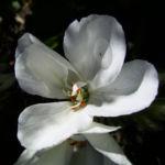 Geranie weisse Bluete Geranium phaeum album 04