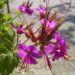 Zurück zum kompletten Bilderset Balkan-Storchschnabel Blüte pink Geranium macrorrhizum