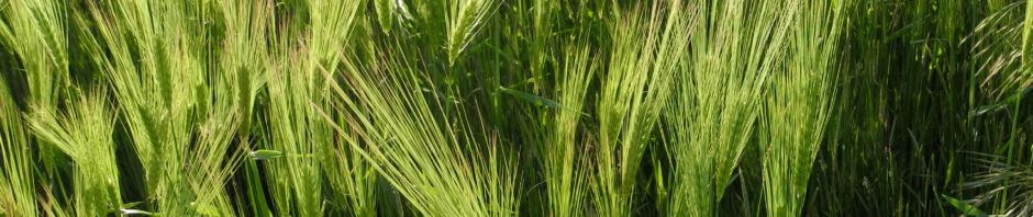 gerste-feld-aehre-gruen-hordeum-vulgare