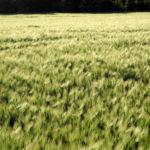 Gerste Feld Aehre gruen Hordeum vulgare 29