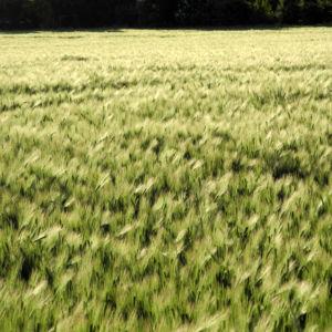 Gerste Feld Ähre grün Hordeum vulgare