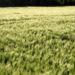 Zurück zum kompletten Bilderset Gerste Feld Ähre grün Hordeum vulgare