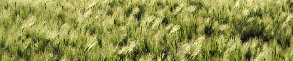 Anklicken um das ganze Bild zu sehen  Gerste Feld Ähre grün Hordeum vulgare