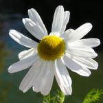 Geruchlose Kamille Bluete weiss Tripleurospermum perforatum 01