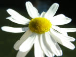 Geruchlose Kamille Bluete weiss Tripleurospermum perforatum 03