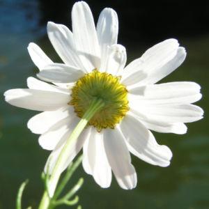 Geruchlose Kamille Bluete weiss Tripleurospermum perforatum 04