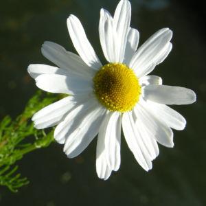Geruchlose Kamille Bluete weiss Tripleurospermum perforatum 06
