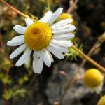 Bild: Geruchlose Kamille Blüte weiß Tripleurospermum perforatum