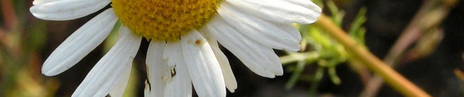 Anklicken um das ganze Bild zu sehen Geruchlose Kamille Blüte weiß Tripleurospermum perforatum