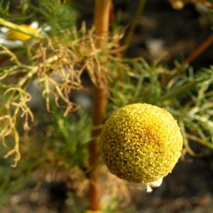 Geruchlose Kamille Tripleurospermum perforatum 07