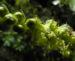 Zurück zum kompletten Bilderset Geschwänzte Bencomia Blatt grün Bencomia caudata