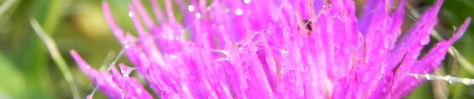staengellose-kratzdistel-bluete-pink-cirsium-acaule