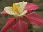Gewoehnliche Akelei Bluete gelb rosa Aquilegia vulgaris 01
