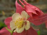 Gewoehnliche Akelei Bluete gelb rosa Aquilegia vulgaris 02