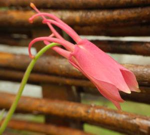 Gewoehnliche Akelei Bluete gelb rosa Aquilegia vulgaris 04