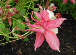 Gewoehnliche Akelei Bluete gelb rosa Aquilegia vulgaris 06