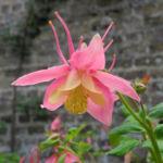 Gewoehnliche Akelei Bluete gelb rosa Aquilegia vulgaris 08