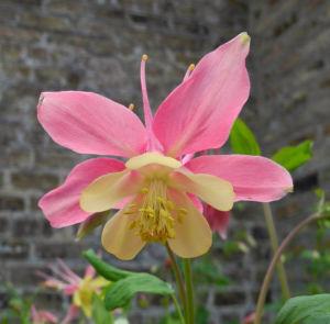 Gewoehnliche Akelei Bluete gelb rosa Aquilegia vulgaris 10