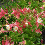 Gewoehnliche Akelei Bluete gelb rosa Aquilegia vulgaris 12