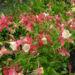 Zurück zum kompletten Bilderset Gewöhnliche Akelei Blüte gelb rosa Aquilegia vulgaris