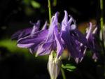 Gewoehnliche Akelei Bluete lila Aquilegia vulgaris 03