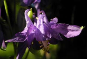 Gewoehnliche Akelei Bluete lila Aquilegia vulgaris 05