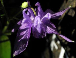Gewoehnliche Akelei Bluete lila Aquilegia vulgaris 06