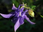 Gewoehnliche Akelei Bluete lila Aquilegia vulgaris 09