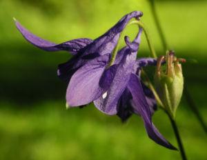 Image: Gewoehnliche Akelei Bluete lila Aquilegia vulgaris