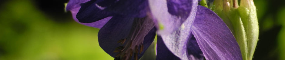 gewoehnliche-akelei-bluete-lila-aquilegia-vulgaris