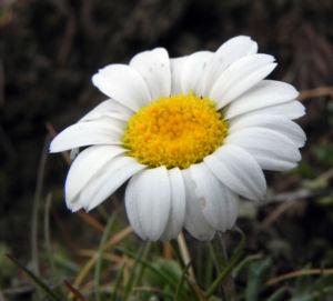 Gewoehnliche Alpenmargerite Bluete weiss Leucanthemopsis alpina 26