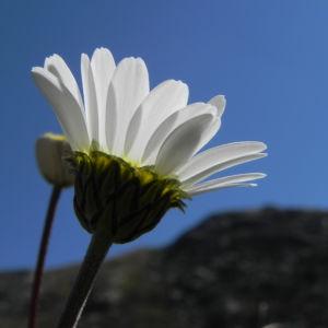 Gewoehnliche Alpenmargerite Bluete weiss Leucanthemopsis alpina 34