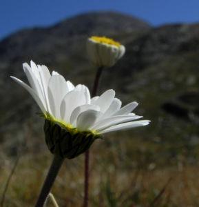 Gewoehnliche Alpenmargerite Bluete weiss Leucanthemopsis alpina 35