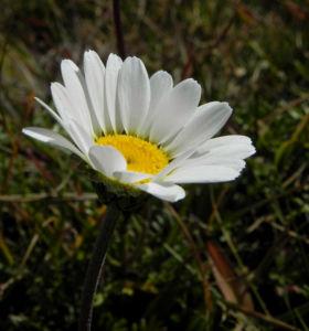 Gewoehnliche Alpenmargerite Bluete weiss Leucanthemopsis alpina 36