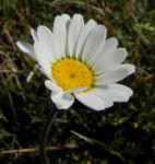 Bild: Gewöhnliche Alpenmargerite Blüte weiß Leucanthemopsis alpina
