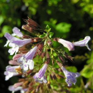Gewoehnliche Bergminze Bluete hell lila Satureja nepeta 01