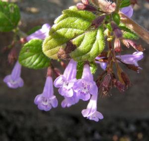 Gewoehnliche Bergminze Bluete hell lila Satureja nepeta 02
