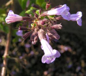 Gewoehnliche Bergminze Bluete hell lila Satureja nepeta 03