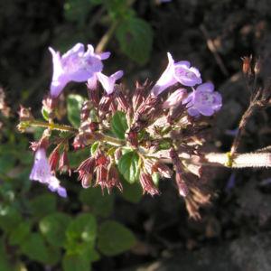 Gewoehnliche Bergminze Bluete hell lila Satureja nepeta 05