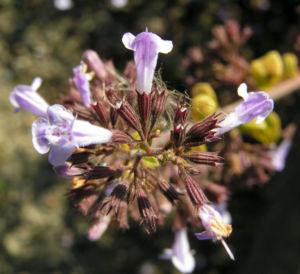 Gewoehnliche Bergminze Bluete hell lila Satureja nepeta 06